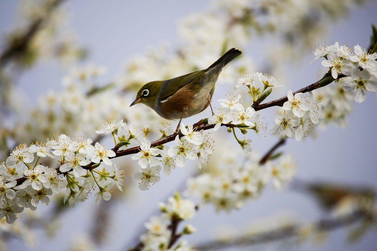 blossom, white, bird