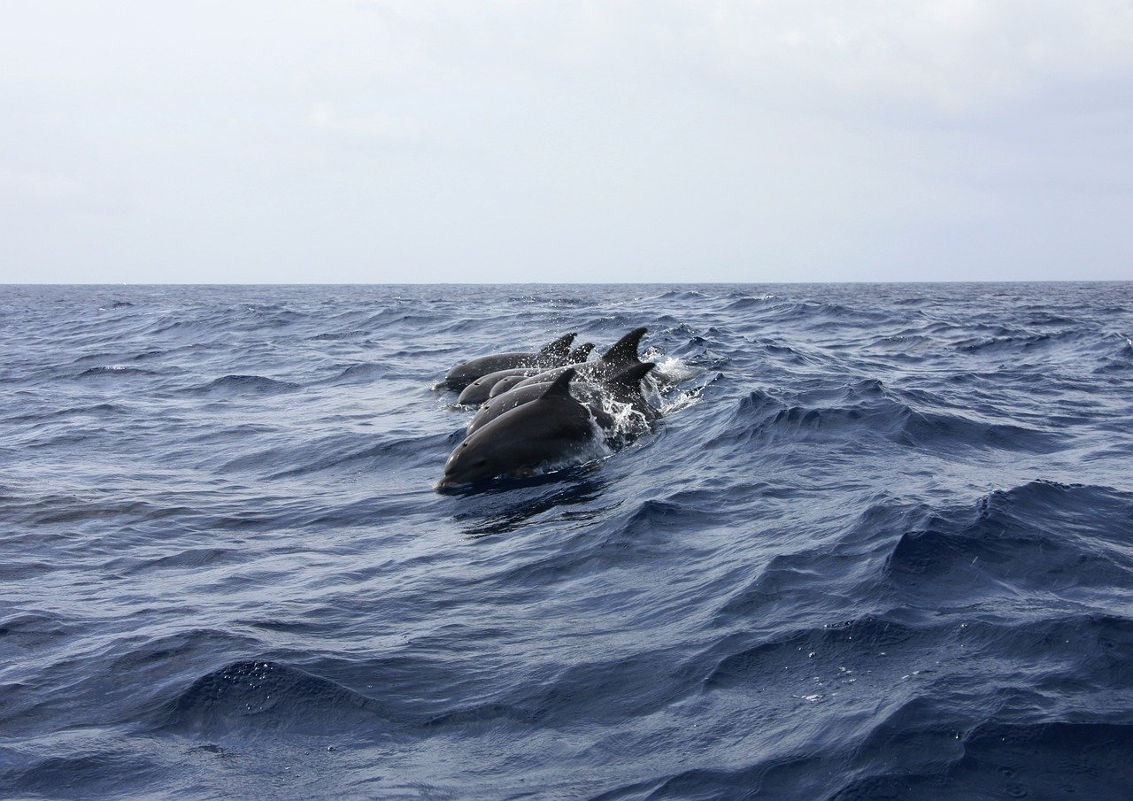 dolphin, animals, sea