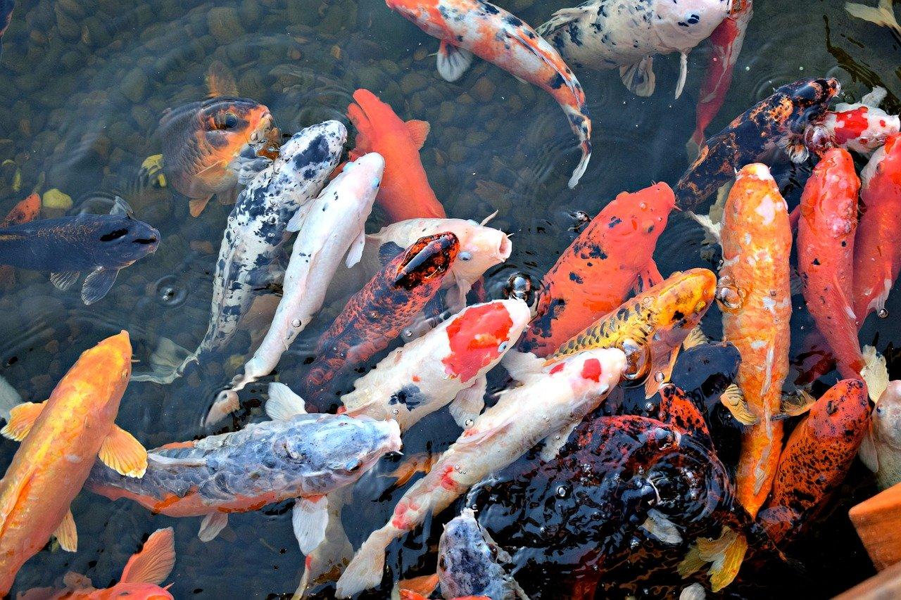 fish, koi fish, asian