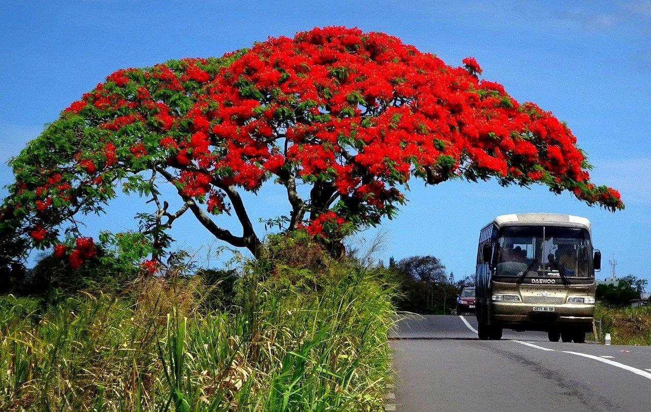 Flamboyant, fauna, mauritius