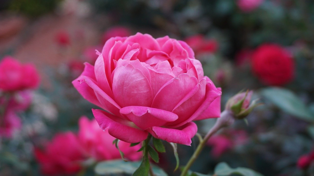 a rose, romance, beauty