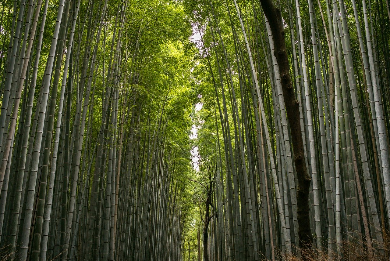 bamboo, forest, bamboo forest