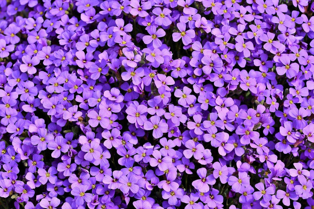 blue pillow, aubrietien, violet