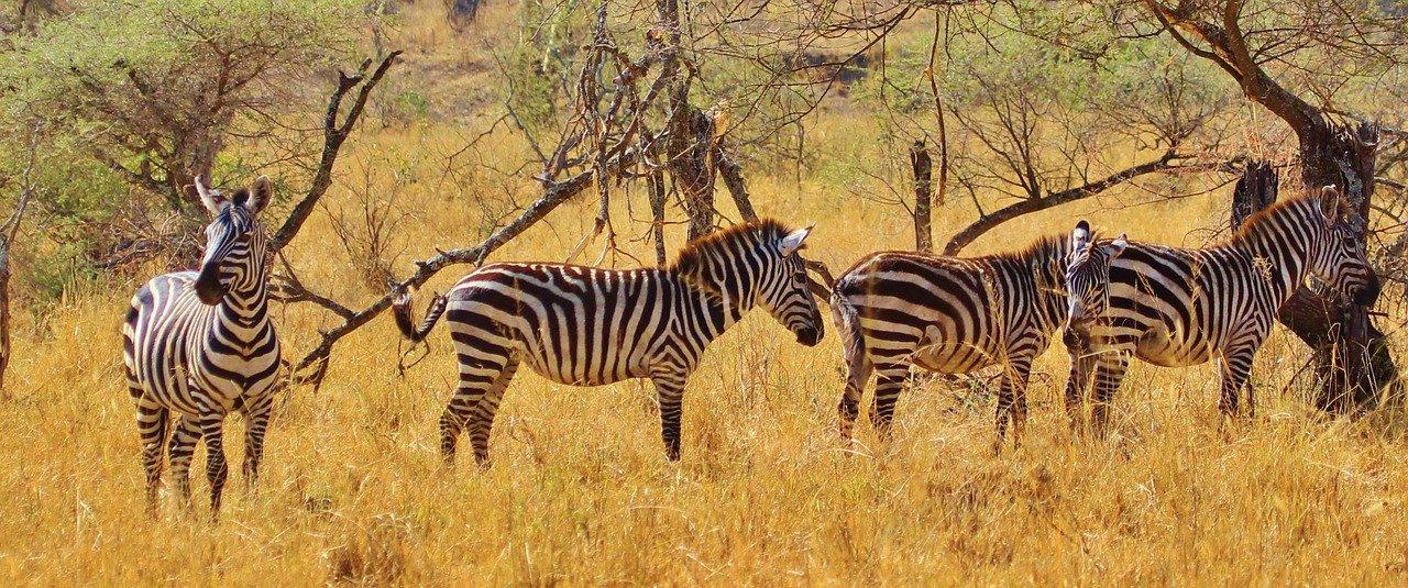 zebra, animal, mammal