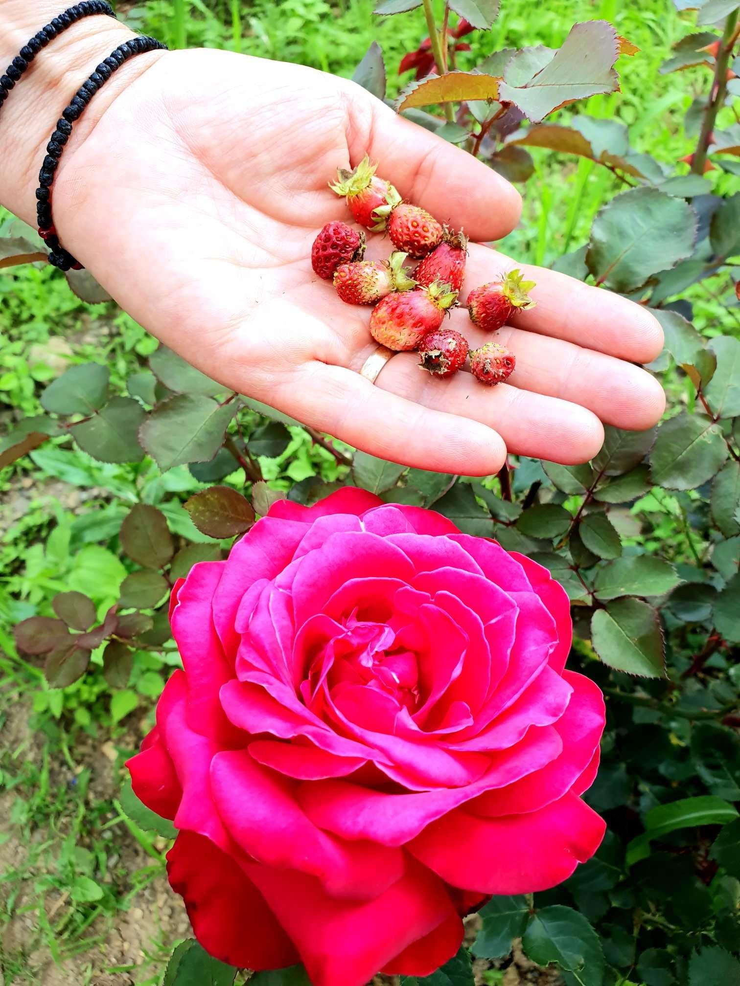 capsuni salbatice fragi trandafiri acasa in bucovina